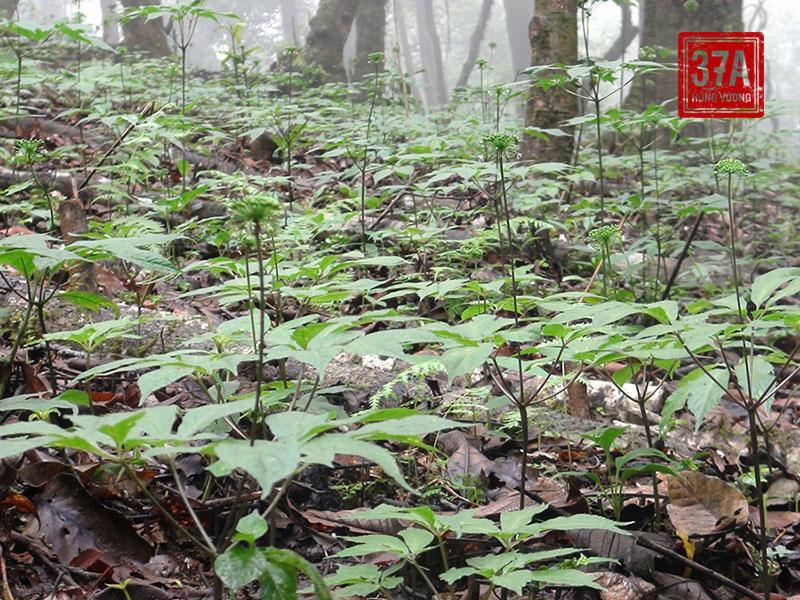 Cây sâm Ngọc Linh có dạng thân khí sinh thẳng đứng, màu lục hoặc hơi tím, nhỏ, có đường kính thân 4 – 8mm